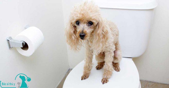 Chó bị tiêu chảy uống thuốc gì - Bác sĩ thú y